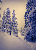 Winter landscape with fir-trees and snow. Stock Photo