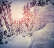 Winter landscape with fir-trees and snow. Royalty Free Stock Image