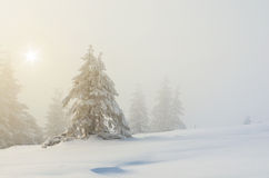 Winter landscape with fir trees Royalty Free Stock Photo