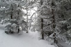 Winter landscape firs and bushes in the snow. Winter landscape majestic firs covered with snow, picturesque nature, freeride track Stock Image