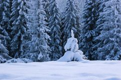 Winter landscape with firs Royalty Free Stock Images