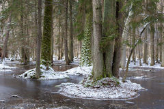 Winter landscape of first snow in old forest Royalty Free Stock Photos