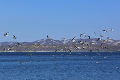 Winter landscape. A flock of seagulls is flying over the sea. stock photo