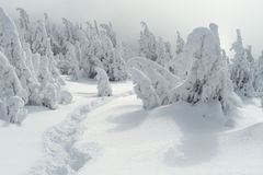 Winter landscape with a footpath on the snow and Christmas trees Royalty Free Stock Image