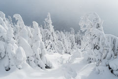Winter landscape with a footpath on the snow and Christmas trees Stock Images
