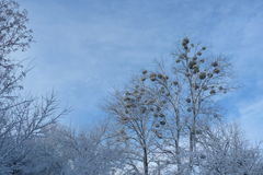 Winter landscape. Winter forest against the blue sky Royalty Free Stock Image