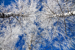 Winter landscape with the forest covered with snow Royalty Free Stock Photography