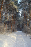 Winter landscape in forest with pines Stock Photos