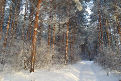 Winter landscape in forest Royalty Free Stock Image