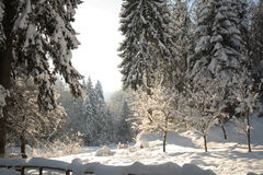 Winter landscape. Winter forest scene in the morning sunlight Royalty Free Stock Photography