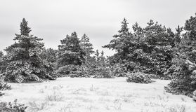Winter landscape. Forest in snow. Black and white image. Composition of nature Stock Image
