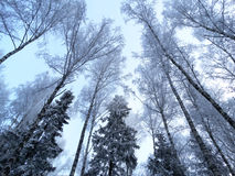 Winter landscape forest in snow frost Stock Images