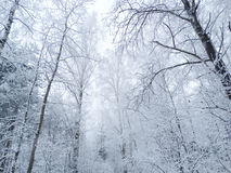 Winter landscape forest in snow frost Royalty Free Stock Photo