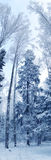 Winter landscape forest in snow frost panorama Royalty Free Stock Photography