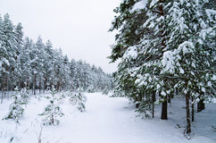 Winter landscape in the forest Royalty Free Stock Photography