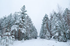 Winter landscape in the forest Stock Image