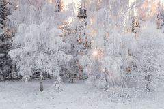 Winter Landscape With Forest And Sun. Beautiful Snow White, Covered With Hoarfrost, Winter Birch Forest. Sun, Snow-Covered Birch G. Rove And Snow-Covered Reed In Royalty Free Stock Photos