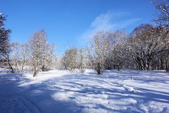 Winter landscape in the forest. Sunny frosty day. Blue sky without clouds and a carpet of snow on the ground and in the trees.  royalty free stock photos