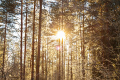 Winter landscape with the forest and sunset Stock Images
