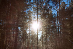 Winter landscape with the forest and sunset Royalty Free Stock Photography