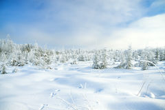 Winter landscape with the forest  and traces of a hare on snow Stock Photos