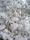 Winter landscape in the forest Royalty Free Stock Photo