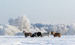 Winter landscape and four ponies. Winter snowy landscape and four ponies Royalty Free Stock Photography