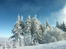 Winter landscape, frost covered pine trees Stock Images