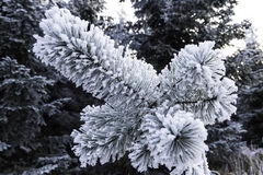 Winter landscape. Frosted pine branch in the winter landscape Stock Photos