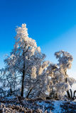 Winter landscape. Frosted pine branch in the winter landscape Stock Photo
