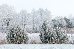 Winter landscape with frosty spruce, trees and snowy river and meadow stock photos