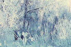 Winter landscape of frosty winter tree branches in winter forest in cold sunny weather Royalty Free Stock Photo