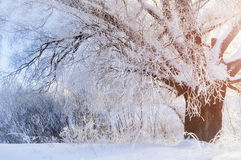 Winter landscape with frosty winter tree in the sunrise beams Stock Photo