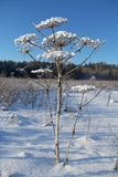 Winter landscape with frozen flower and blue sky. Royalty Free Stock Photography