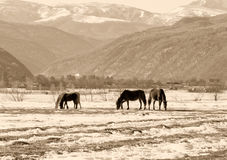 Winter landscape grazing horses Royalty Free Stock Photography