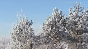 Winter landscape. Growth against the blue sky. Winter pine branch, snowflakes on a branch, fir-tree leaves with drops of water close-up. Beautiful natural view stock video footage