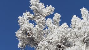 Winter landscape. Growth against the blue sky. Winter pine branch, snowflakes on a branch, fir-tree leaves with drops of water close-up. Beautiful natural view stock video