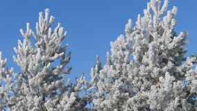 Winter landscape. Growth against the blue sky. Winter pine branch, snowflakes on a branch, fir-tree leaves with drops of water close-up. Beautiful natural view stock footage