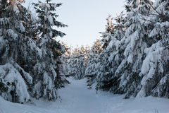 Winter landscape with high spruces and snow in mountains Stock Photography