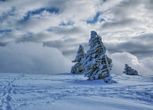 Winter landscape I. Small steady pines covered by snow in beautiful winter landscape Stock Photo