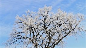 Winter landscape ice on tree. Winter landscape, trees in hoarfrost stock video footage