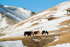 Winter landscape with Icelandic horses in the mountains, Iceland Stock Photos