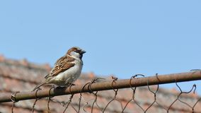 Sparrow perched on rusty wire fence royalty free stock images