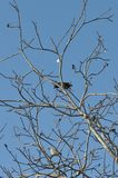 Crow and wild dove perch on tree top branch. A winter landscape image of two birds in a tree royalty free stock photo