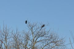 Crows perch on tree top branch. A winter landscape image of two crow birds in a tree royalty free stock images