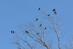 Crows perch on tree top branch. A winter landscape image of two crow birds in a tree stock photography