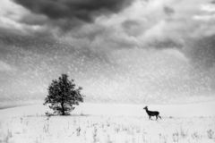 Free Winter Landscape In Black And White. Lonely Tree And Wild Deer In A Snowy Field Royalty Free Stock Image - 131395106