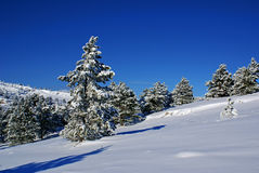 Winter landscape K. Spruce trees covered by snow in beautiful winter landscape Royalty Free Stock Image
