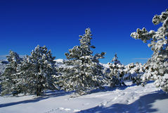 Winter landscape L. Spruce trees covered by snow in beautiful winter landscape Royalty Free Stock Images