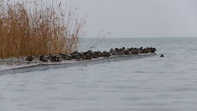 Winter landscape from a lake Balaton with wild ducks stock footage